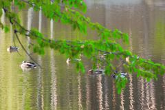 Lake. View of the lake and swimming wild ducks Royalty Free Stock Images