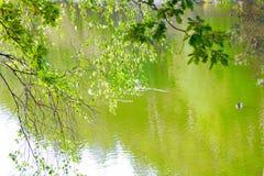 Lake. View of the lake and swimming wild ducks Stock Photos