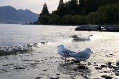 The Wakatipu lake seagull Royalty Free Stock Photos