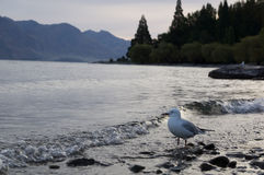 The Wakatipu lake seagull Stock Photography