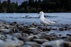 The Wakatipu lake seagull Royalty Free Stock Images