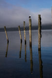 The Wakatipu lake seagull Stock Photo