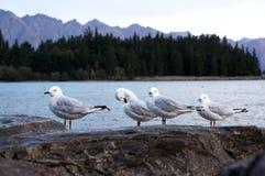 The Wakatipu lake seagull Stock Images