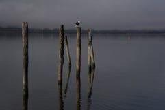 The Wakatipu lake seagull Royalty Free Stock Photo