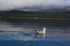 The Wakatipu lake seagull Royalty Free Stock Image