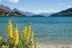 Lake Wakatipu & yellow lupines. Lake Wakatipu, Queenstown, New Zealand stock images