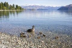 Lake Wanaka shoreline with ducks, Roys Bay, Wanaka, New Zealand. Lake Wanaka shoreline with swimming duck and ducklings, Roys Bay, Wanaka, New Zealand Royalty Free Stock Photos