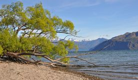 Lake Wanaka Willows, New Zealand Stock Photos