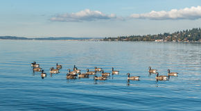Lake Washington - Geese Royalty Free Stock Photography