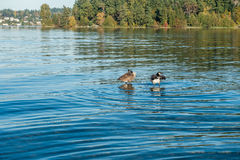 Lake Washington - Geese 2 Royalty Free Stock Images