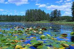 Lake with water lilies Stock Photo