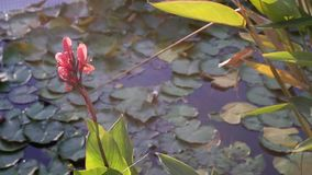 Lake with water lilies. stock video
