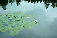 Lake. Water lilies. Water Landscapes. wait water lilies royalty free stock photography