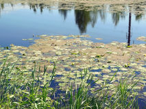The lake with water-lilies Royalty Free Stock Images