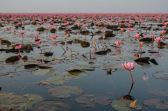 The Lake of water lillies, Udonthani. Thailand Royalty Free Stock Photography