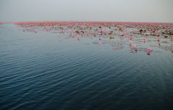 The Lake of water lillies, Udonthani. Thailand Stock Image