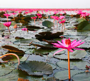 The Lake of water lily Royalty Free Stock Photography