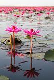 The Lake of water lily Stock Images