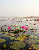 The Lake of water lily Royalty Free Stock Image