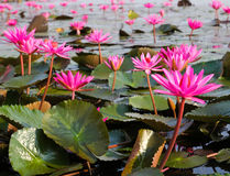 The Lake of water lily Stock Photo