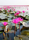The Lake of water lily Stock Photography