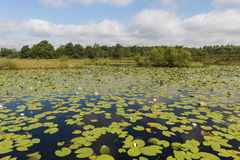 Lake with water Lily Royalty Free Stock Photos