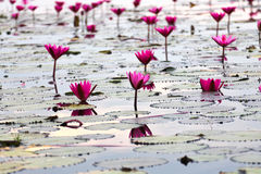 The Lake of water lily Stock Photos