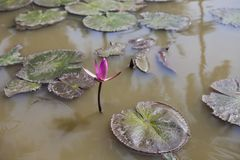 The Lake of water lily, vietnam. Stock Photos
