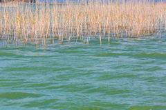 Lake water with reed Stock Image