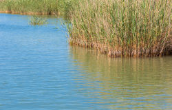 Lake water with reed Stock Photography