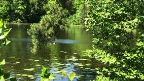 Lake water surface with green plants and ducks. Rippled water surface with green leaf and yellow buds of aquatic plants on sunny summer day stock video