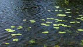 Lake water surface with green plants. Rippled water surface with green leaf and yellow buds of aquatic plants on sunny summer day stock video