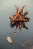 Lake water and tree stumps Stock Photo