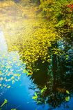 Lake water with yellow autumn leaves, nature background Stock Image