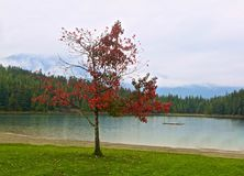 Lake Whistler Canada. Red colorful leaf autumn tree on edge of lake in Whistler Canada on rainy stock image