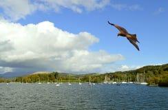 Free Lake Windermere In Cumbria Common Buzzard In Flight Stock Image - 167301371