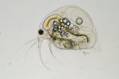 Lake Winnebago Zooplankton Stock Photography