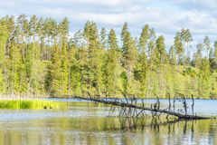 Lake at a woodland with a dead tree. Forest lake with a dead tree and pine forest on a hill Stock Photo