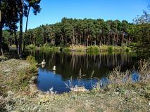 Lake of the Woods. Smooth surface of water and pine forest around Stock Image