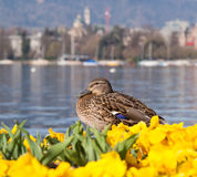 Lake Zurich, early spring Stock Image