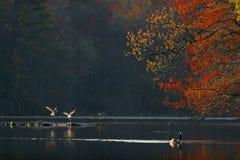 lakefjäder fotografering för bildbyråer