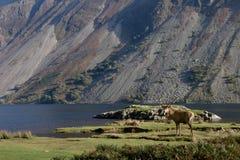 lakefullvuxen hankronhjort Royaltyfri Bild