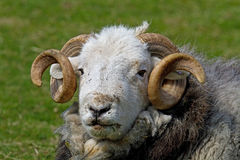 Lakeland Ram Royalty Free Stock Images