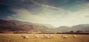 Lakeland scene. A sheep farm in the Lake District, UK Stock Image