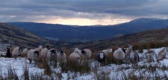Lakeland Sheep Stock Photos