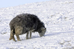 Lakeland Sheep in winter Stock Photos