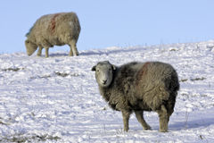 Lakeland Sheep in winter. Shot of a lakeland sheep at the hamlet of Barepot in Workington. Workington experienced extreme temperatures and snow which is unusual Royalty Free Stock Photo