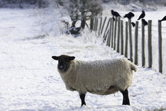 Lakeland Sheep in winter. Shot of a lakeland sheep at the hamlet of Barepot in Workington. Workington experienced extreme temperatures and snow which is unusual Royalty Free Stock Images