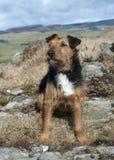Lakeland Terrier Stock Photos