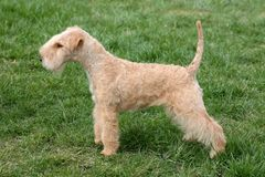 Lakeland terrier Stock Photos